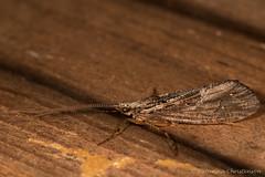 Long brown moth (kasia-aus) Tags: 2016 aland finland bug europe insect longantannae macro nature thin travel trip wildlifemoth