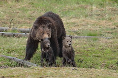 Grizzly group (Hammerchewer) Tags: grizzlybear sow cubs wildlife outdoor yellowstone