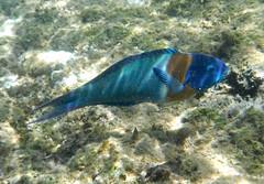 DSCF0937 (washuugenius) Tags: photo hawaii kauai underwater fish keebeach