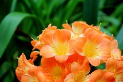 Flower Dome (Yukkuriko) Tags: flowers singapur singapore bearbeitet gardensbythebay flowerdome blumen blten  explore
