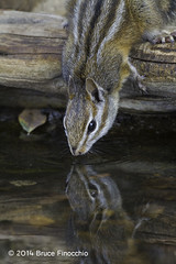 Merriam Chipmunk Drinks From A Small Pond (brucefinocchio) Tags: merriamchipmunkdrinking drinkingchipmunk merriamchipmunk chipmunkreflection reflection pond drinking waterreflection chipmunk ramrodranch montereycounty california