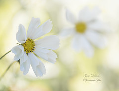 Last of summer.... (Jane Dibnah Botanical Art) Tags: cosmos white flower daisy flora floralart flowerphotography flowers gardenphotography macro selectivefocus nature nationaltrustgarden powiscastle