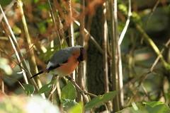 Male Bulfinch (david.england18) Tags: malebulfinch bulfinch smallbirds various tits blue coal great birdsuk canon7d canonef300mmf4lisusm queensparkheywood