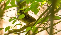 7K8A4365 (rpealit) Tags: scenery wildlife nature jonathans woods rockaway township whitethroated sparrow bird