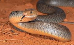 Eastern Brown Snake (Pseudonaja textilis) (Mattsummerville) Tags: easternbrownsnake pseudonajatextilis texti elapid venomous snake reptile speewah wettropics queensland