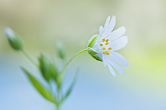 Little Stitchwort (Jacky Parker Floral Art) Tags: white flower macro art nature floral horizontal closeup garden landscape one flora creative meadow single bloom softfocus format greater wildflower orientation stitchwort stellariaholostea