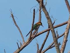 Chestnut-headed Bee-eater (Oleg Chernyshov) Tags: chestnutheadedbeeeater meropsleschenaulti  meropsleschenaultiquinticolor
