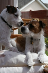 Dave and Dora (made by maxine) Tags: dog cute dave puppy dora jackrussell parsonrussellterrier