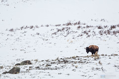 Howling Gray Wolf and Bison (Ben Chase Photography) Tags: winter snow wolf wildlife yellowstonenationalpark yellowstone snowing prey predator bison graywolf greywolf