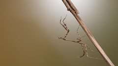 1DX_7566 (felt_tip_felon) Tags: macro bug insect predator prayingmantis creepycrawlies mantid