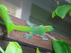 Gecko (sachimoran) Tags: green hawaii lizard noedit gecko kona nofilter greengecko repltile