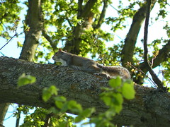 Grey Squirrel, Rowhill Nature Reserve (BIKEPILOT) Tags: nature animal wildlife naturereserve farnham nestbox aldershot greysquirrel weybourne drey rowhill