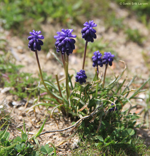 PERLEBLOM  Muscari neglectum   Grape Hyacinth