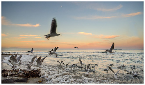 Gull Sunset 1