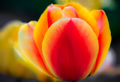 Spring Tulip - in the Twilight (P C Chang) Tags: red orange flower nature beautiful yellow canon garden gold spring blossom capecod tulip bloom cape cod recreational topshots mixedflowers flowersarebeautiful excellentsflowers mimamorflowers flickrflorescloseupmacros thebestofmimamorsgroups rememberthatmomentlevel1 magicmomentsinyourlifelevel1 rememberthatmomentlevel2 capecodtulip