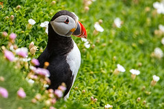 Puffin (JayMPhoto) Tags: ex birds canon islands 14 puffin saltee 1dx 500f4