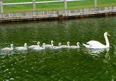 Follow Me (Essex Explorer) Tags: swans essex southend cygnets southchurchpark p1130830
