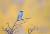 Fall Bluebird (Amy Hudechek Photography) Tags: autumn color bird fall colorado aspens bluebird mountainbluebird happyphotographer slicesoftime vegalake amyhudechek