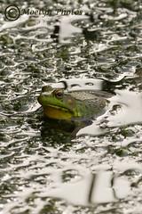 Frog in Montezuma Wildlife Refuge (moelynphotos) Tags: frog oneanimal animalinthenaturalenvironment marsh wetlands swampy pond montezumanationalwildliferefuge nationalwildliferefuge newyorkstate senecafalls amphibian green portraitformat nobody bumpy textured moelynphotos