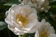 Weie Rose  - White rose (riesebusch) Tags: berlin garten marzahn
