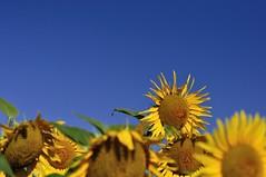 Tournesol (Martin PEREZ 68) Tags: tournesol girasol sunflower flor fleur flower campagne campo countryside couleur color cielo ciel sky blue bleu azul jaune yellow amarillo t verano summer summertime