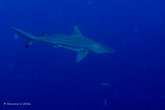 shark (Kazuma U) Tags: shark toiretbowl okinawa japan scuba diving underwater underwaterphoto olympus inon padi