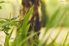 _DSC9679 (goran_protic) Tags: summer abstract macro texture love nature colors beautiful closeup composition contrast digital lens outside drops europe pattern natural bright pentax blossom bokeh outdoor pastel gimp vivid naturallight best sharp depthoffield full greatshot imaging attraction balkan ultravivid pentax135mm beyondbokeh