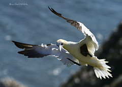 Bempton 21 183 (Brian Gort Wildlife Photography) Tags: red yellow cream buff white black feather feathers gannet bempton cliffs rspb east riding yorkshire uk england bird brown birds brian birdwatching briangort bokeh beautiful blue beak flight fly sea sky nikon nature naturallight natural native sigma sigma300mmf28prime sun sunlight spring sunshine summer