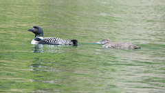 Mama and baby loon12 (rogue0075) Tags: bluesea cottage ducks loons