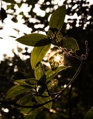 Sun Light Glaring Through (Ashir_102) Tags: glare sun spark sunray sunshine leaf green glaring