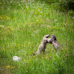 marmots duel (lhags2000) Tags: marmots duel fight canon eos 5dmark2 tamron 150600 grass green alpes 3valles