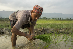 Farm worker Basanta Chaudhary transplants rice seedlings in Pipari, Dang. (CIMMYT) Tags: nepal csisa cimmyt maize agriculture smallholder farmer mechanization asia