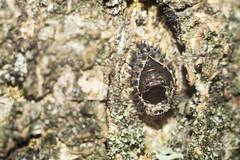 Is this a Ladybird Pupa? (jamesallen9) Tags: pentacon50mmf18 ladybirdpupa tree bark lichen texture macro macrocreaturefeature