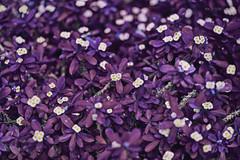 (M.K. Design) Tags: 2016            taiwan nikon d800e macro nature flowers bokeh tele primelans afs nikkor 105mmf14e ed