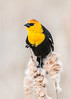 Yellow Headed Blackbird Series 4 (Patti Deters) Tags: bird yellowheadedblackbird yellow perched black tan songbird one single wild wildlife nature animal sitting male pussywillow cattail reeds marsh swamp song xanthocephalus yellowheaded small blackbird colorful colourful headed vertical art blurredbackground copyspace stock lobby office interiordesign