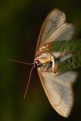 moth (f.tyrrell717) Tags: moth whit underside grass macro