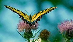 Papilio canadensis (Scott M. Mohn) Tags: yellow flowers nature plants beautiful bright insect wings closeup colorful antenna delicate swallowtail wingspan summer park minnesota butterfly insecta lepidoptera canadiantigerswallowtail papiliocanadensis sonyilca77m2