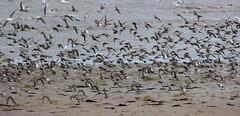 Seabirds (Cal Killikelly) Tags: high tide ringed plover dunlin seabirds waders hoylake rspb dee estuary coast flock shore