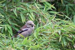there's a bird in my bamboo (photos4dreams) Tags: bird birdy photos4dreams p4d photos4dreamz vogel vgelchen jungvogel piepmatz bamboo bambus mysecretgarden