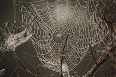 foggy webs (Salamanderdance) Tags: fog morning fogyfoggy spider spiders web webs spiderweb dew foggy water droplets droplet fall