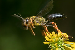 Ready for take-off (stavale8099) Tags: wasp flying macro nikon 105mm pollen pollinator stinging hymenoptera