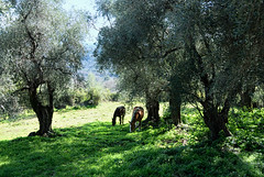 A-l'ombre-des-oliviers (RS...) Tags: corse cervione oliviers chevaux olivetrees horses