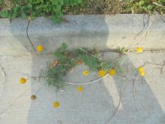 163 (en-ri) Tags: fiorellini gialli sony sonysti cemento
