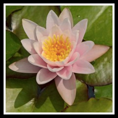 Water Lily Squared (brev99) Tags: waterlily flower pink water tulsagardencenter photoshopelements12 paintdaubes watercolor grain perfecteffects10 ononesoftware topazadjust border tamron180f35 d7100
