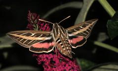 White-lined Sphinx Hummingbird Moth (ksblack99) Tags: whitelinedsphinx hyleslineata hummingbirdmoth moth butterflybush