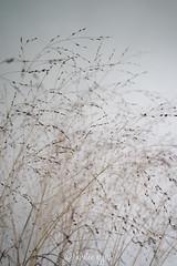 _DSC0667-KirstenEggers (Kiki m. E.) Tags: schleswigholstein germany deutschland p89 location interior minimal design house reduced grass gras grser tender white wall weise wand zart getrocknet dry