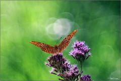 Flight towards the light. (valpil58) Tags: primotar bokeh argynnis paphia butterfly