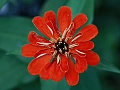 Orange Flower Macro (hbickel) Tags: orange flower macro macrolens canont6i canon