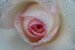 Rose (mak.27) Tags: rose pink white flower waterdrops gaziantep trkiye turkey sony a58 macro platinumheartaward