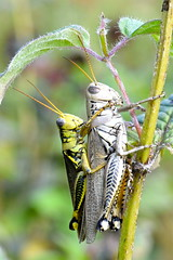 Mating Grasshoppers (esywlkr) Tags: grasshopper insects mating